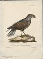 Circaëtus cinereus - 1825-1834 - Print - Iconographia Zoologica - Special Collections University of Amsterdam - UBA01 IZ18100257.tif