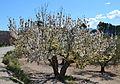 Cirerer en flor a Gaianes, el Comtat.JPG