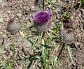 Cirsium eriophorum at Lac du Fouyet (7).jpg