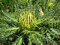 Cirsium spinosissimum Valais2.jpg