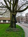City-tree in Amsterdam-Oost in spring.jpg