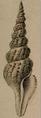 Clathrodrillia flavidula 001.png