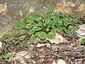 Claytonia perfoliata ssp intermontana 7.jpg