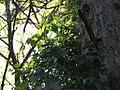 Clematis vitalba - Starceva brada (2).jpg