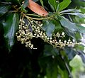 Clethra arborea in Tropengewächshäuser des Botanischen Gartens 02.jpg
