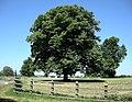 Clifton-On-Dunsmore Oak Tree - geograph.org.uk - 1332167.jpg