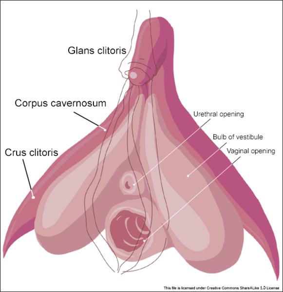 Zo ziet de clitoris er uit