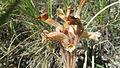 Clustered Broomrape (8453361665).jpg