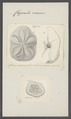 Clypeaster rosaceus - - Print - Iconographia Zoologica - Special Collections University of Amsterdam - UBAINV0274 106 07 0002.tif