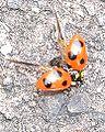Coccinella septempunctata3.jpg