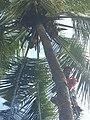 Coconut tree climbing DSCN0357.jpg