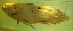 A preserved Coelacanth specimen in the Natural History Museum, London