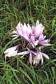 Colchicum autumnale group.png