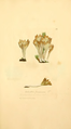 Coloured Figures of English Fungi or Mushrooms - t. 155.png