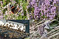 Colourfull nature with bees and butterflies at the heather at Deelerwoud - panoramio.jpg