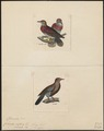 Columba spec. - 1700-1880 - Print - Iconographia Zoologica - Special Collections University of Amsterdam - UBA01 IZ15600339.tif