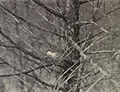 Columbidae - 1905D.jpg