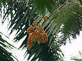 Colvillea racemosa (1095198254).jpg