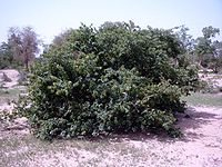 Combretum micranthum Bild0729