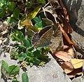 Common Blue. Polyommatus icarus f. celina. Female - Flickr - gailhampshire.jpg