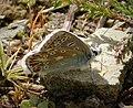 Common Blue male (25062935208).jpg