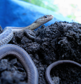 Common Garter Snake, Thamnophis sirtalis (5745036582).png