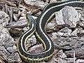 Common Garter Snake (15681127020).jpg