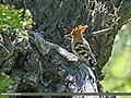 Common Hoopoe (Upupa epops) (27464275563).jpg