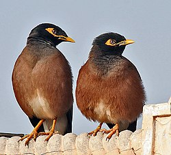Common Mynas- Display at Hodal I Picture 0051.jpg