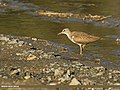 Common Sandpiper (Actitis hypoleucos) (28137618265).jpg