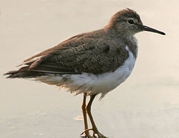 Common Sandpiper (Actitis hypoleucos) in Hyderabad W IMG 6998.jpg