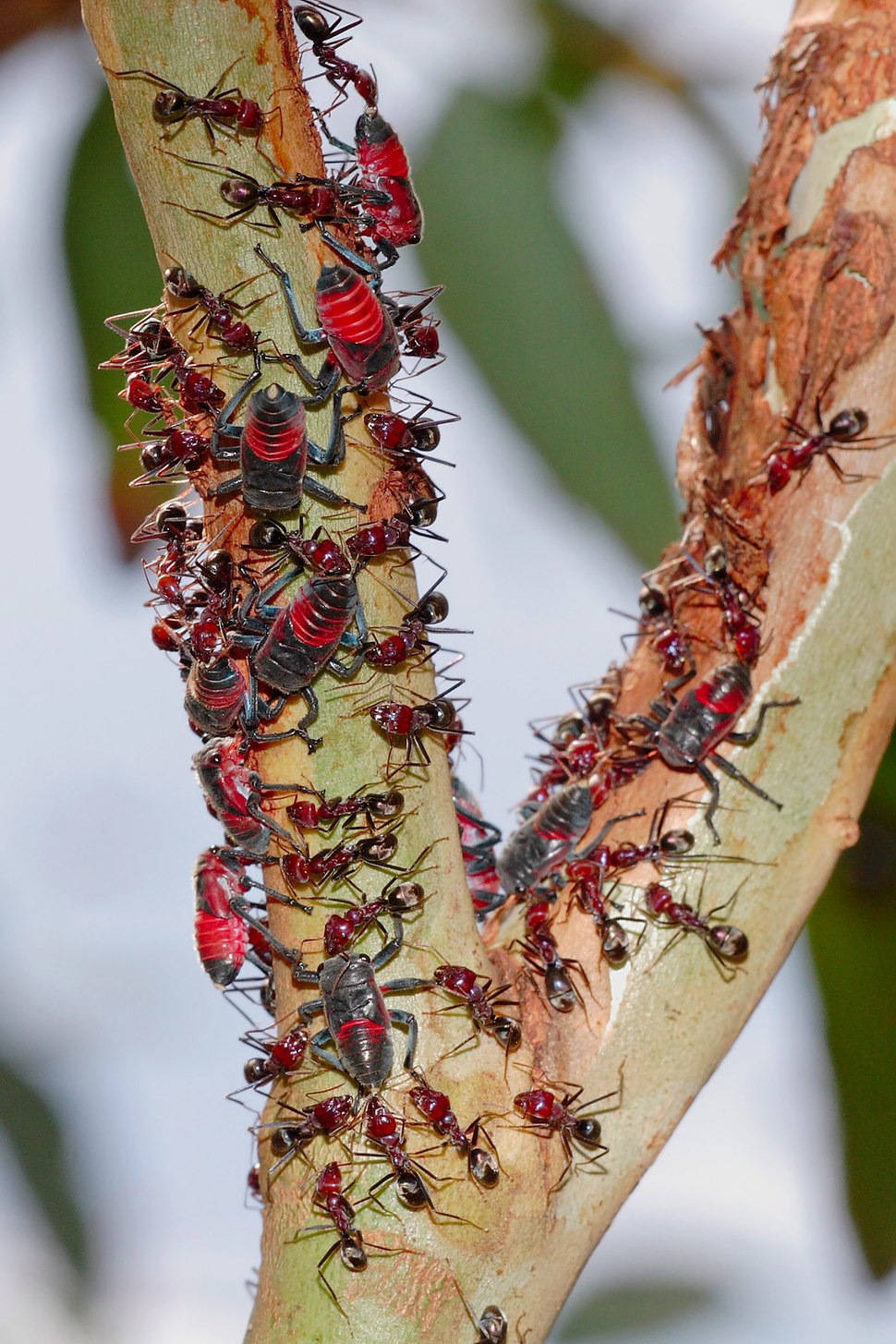 Common jassid nymphs and ants02