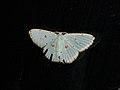 Comostola laesaria (41007972441).jpg