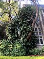 Compound leaves,big ,plant,mumbai university.jpg