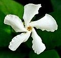 Confederate Jasmine -- Trachelospermum jasminoides.jpg