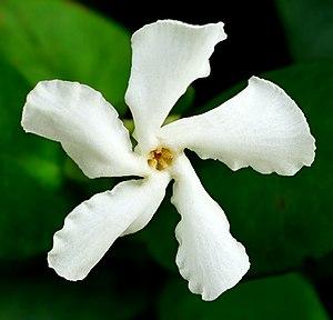 Trachelospermum jasminoides - Image: Confederate Jasmine Trachelospermum jasminoides