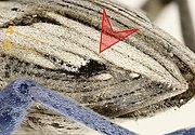 Coniocleonus nigrosuturatus elytron 3.jpg