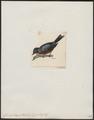 Conirostrum sitticolor - 1820-1860 - Print - Iconographia Zoologica - Special Collections University of Amsterdam - UBA01 IZ19000425.tif