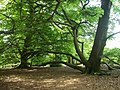 Conjoined beech trees near Guildford.jpg