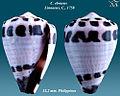 Conus ebraeus 3.jpg