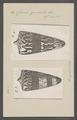 Conus generalis - - Print - Iconographia Zoologica - Special Collections University of Amsterdam - UBAINV0274 086 07 0043.tif