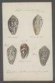Conus monachus - - Print - Iconographia Zoologica - Special Collections University of Amsterdam - UBAINV0274 085 10 0018.tif