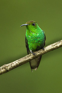 Coppery-headed Emerald - La Corora - Costa Rica S4E1630 (26663680986).jpg