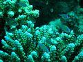 Coral reef near Marsa Alam.jpg