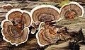 Coriolus versicolor - Flickr - gailhampshire.jpg