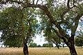 Cork oak (41838110225).jpg