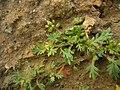 Coronopus didymus stem (08).jpg