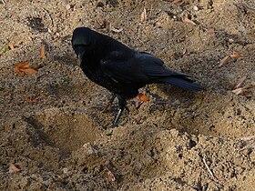 Corvus corone 2010.JPG