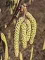 Corylus avellana sl16.jpg