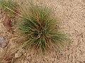 Corynephorus canescens 106632486.jpg